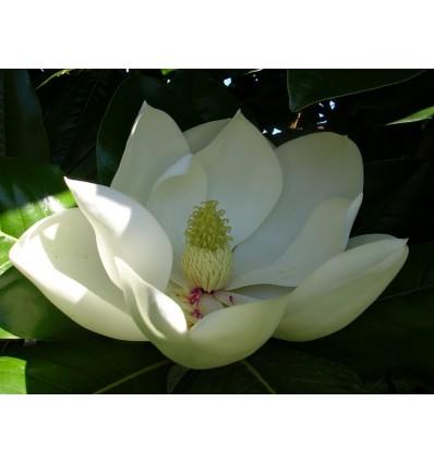 Ataras magnolijų, 5 ml
