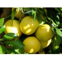 Eterinis greipfrutų aliejus, 5 ml
