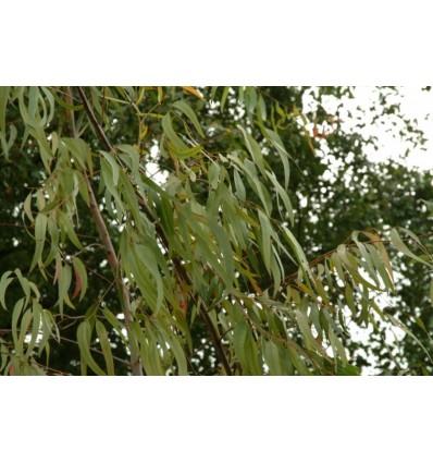Eterinis eukaliptų citrinkvapių aliejus, 5 ml