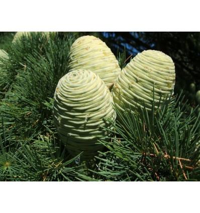 Eterinis kedrų (Himalajinių)  aliejus, 5 ml