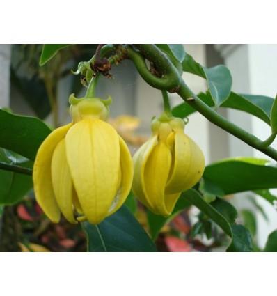 Eterinis ylang ylang (kvapiųjų kanangų) aliejus, 5 ml