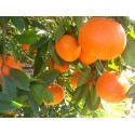 Eterinis mandarinų aliejus, 5 ml