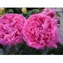 Hidroliatas damaskinių rožių, 50 ml