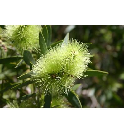 ETERINIS ARBATMEDŽIO TEA TREE (ARBATMEDŽIŲ, PRAŽANGIALAPIŲ MIRTENIŲ) ALIEJUS, 5 ML