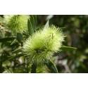 Eterinis arbatmedžio (arbatmedžių, pražangialapių mirtenių) aliejus, 10 ml
