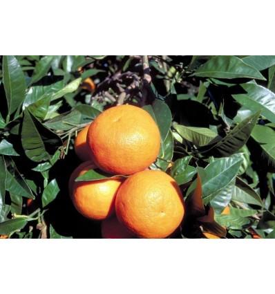 Eterinis siciliškųjų bergamočių aliejus, 5 ml