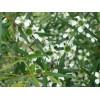 Eterinis arbatmedžio citrinkvapio (citrininio arbatmedžio) aliejus, 5 ml