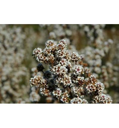 Eterinis fragonia aliejus, 5 ml