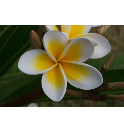 Ataras frangipani (baltasis jostras), 5 ml